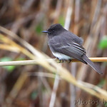 Black Phoebe - Bentson SP