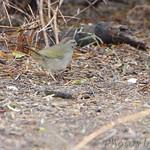 Olive Sparrow - Bentson SP