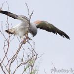 White-tailed Hawk - Luguna Atascoso NWR
