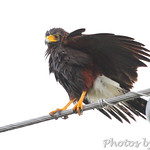 Harris's Hawk - Luguna Atascoso NWR