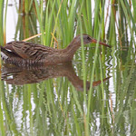 Clapper Rail - South Padre Island