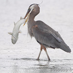 Great Blue Heron - South Padre Island