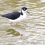 Black-necked Stilt - Sabal Palm Sanctuary