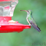 Buff-bellied Hummingbird - Sabal Palm Sanctuary