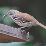 Long-billed Thrasher - Sabal Palm Sanctuary