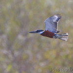 Ringed Kingfisher - Sabal Palm Sanctuary