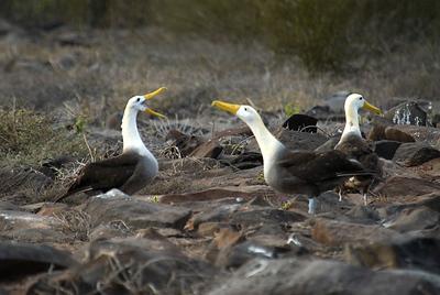 Waved Albatross mating dance
