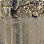 Garganey and Blue-winged Teal