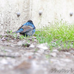 Possible male Hybrid Lazuli X Indigo Bunting