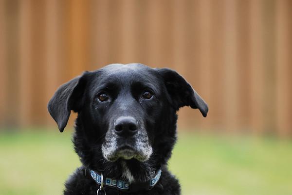 dog portrait victoria british columbia dogs portraits photographer