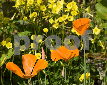 California Poppies and Bermuda Buttercups on a hillside in San Juan Capistrano, California