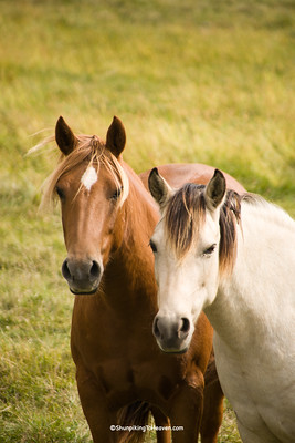 Horses in Pasture, Chickasaw County, Iowa