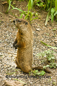 Groundhog (Woodchuck), Dane County, Wisconsin
