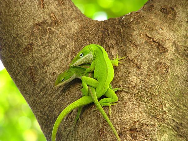 Green anoles (Anolis carolinensis) mating(20080526_05846)
