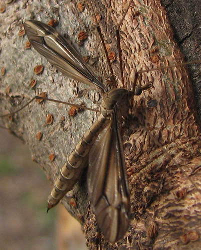 A female crane fly (subgenus Yamatotipula; Tipula furca) hanging on the side of a tree (20080314_02612)