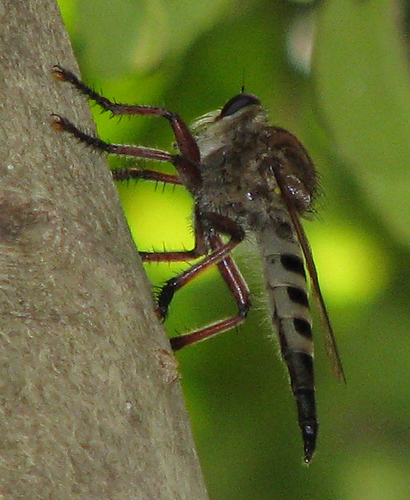 A giant robber fly (Promachus hinei) clinging to a tree branch (20080711_09237)