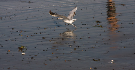 sea gull running