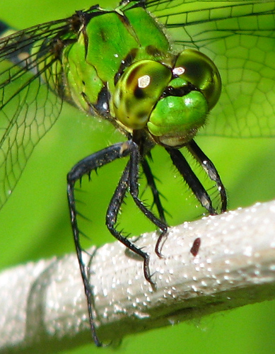 Close-up of a female eastern pondhawk (Erythemis simplicicollis) as she perches on a stem (20080712_09324)