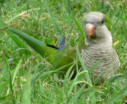 A Monk parakeet (a.k.a. quaker parrot; Myiopsitta monachus) walking through the grass (20080713_09580)