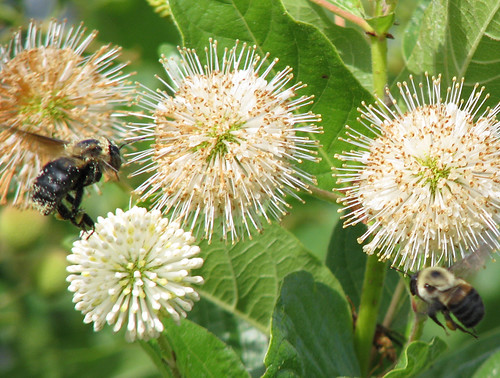 Two brownbelted bumble bees (Bombus griseocollis) flying toward a group of buttonbush (Cephalanthus occidentalis) flowers (20080713_09647)