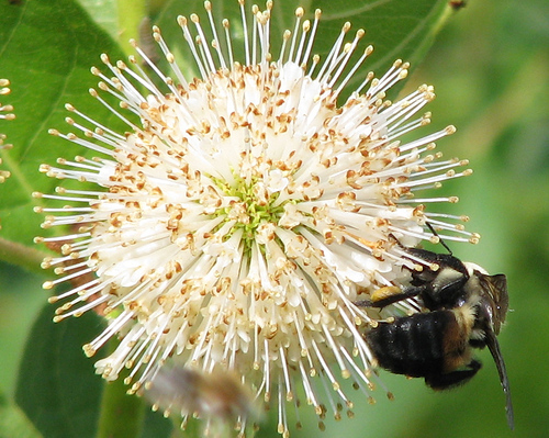 A brownbelted bumble bee (Bombus griseocollis) hanging on the side of a buttonbush (Cephalanthus occidentalis) flower (20080713_09648)