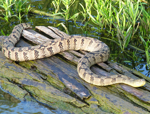 A diamondback water snake (Nerodia rhombifer) sunning on a log (20080726_09956)