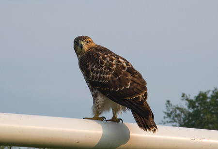 watchful hawk