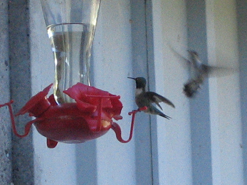 Ruby-throated hummingbirds (Archilochus colubris) around a feeder at the family farm (139_3998)