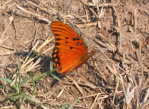 A Gulf fritillary (Agraulis vanillae) resting on the ground in the main yard of the family farm (214_1441)