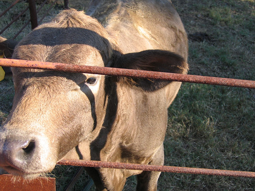 A cow sticking its head through the fence with a wanting, begging look on its face (216_1660)