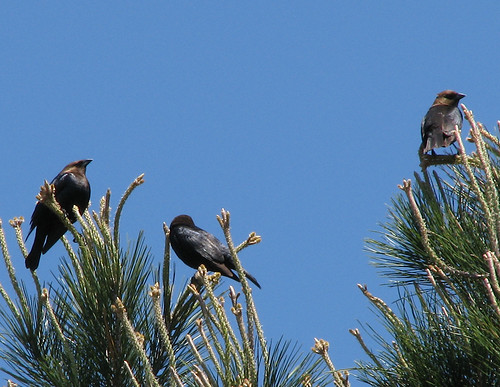 Male brown-headed cowbirds (Molothrus ater) perched atop a pine tree (20080414_03445)