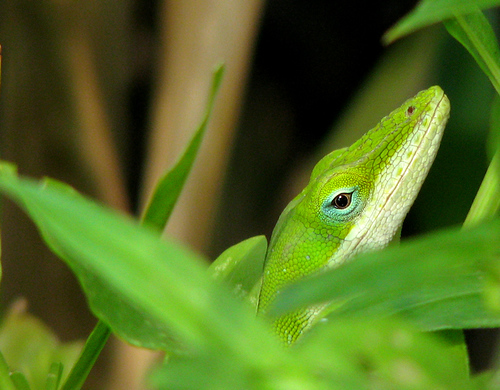 Close-up of a male green anole (Anolis carolinensis) as he peeks at me from within dense foliage (20080817_11010)