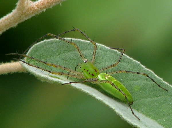 A green lynx spider (Peucetia viridans) sitting atop a leaf (20080809_10707)