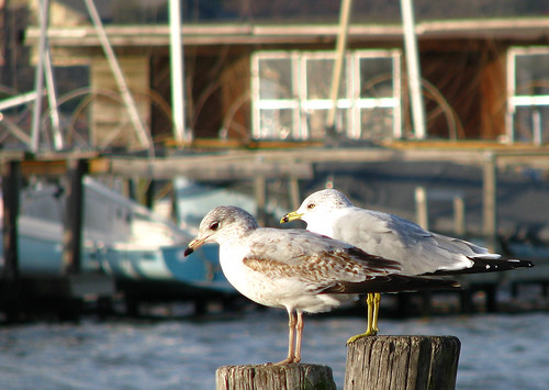Two ring-billed gulls (Larus delawarensis), one adult and one juvenile, and each perched on a pier beam as they face into the winter sun (IMG_20080106_00989)