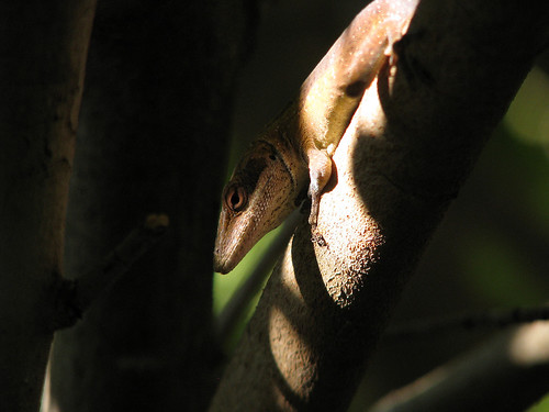 A female green anole (Anolis carolinensis) hunting amongst the branches of verdant shrubs (20080823_11239)