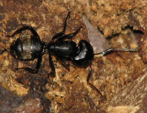 A black carpenter ant (Camponotus pennsylvanicus) milling about on the surface of its nest hidden within the trunk of a tree (20080704_09170)