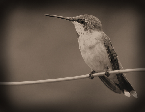 A female ruby-throated hummingbird (Archilochus colubris) perched atop a fence wire (20080809_10681)