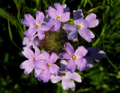 Moss verbena (Verbena tenuisecta) (20080419_03791)