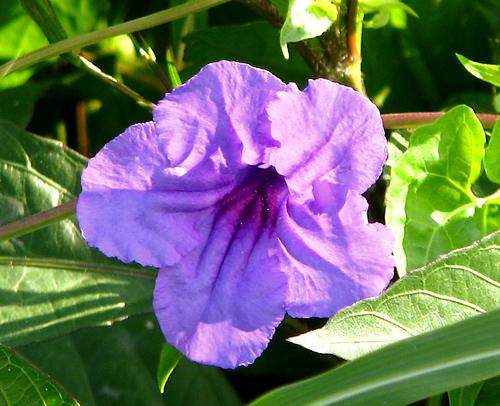 Wild petunia (a.k.a. common wild petunia, violet wild petunia or violet ruellia; Ruellia nudiflora) (20080614_06538)