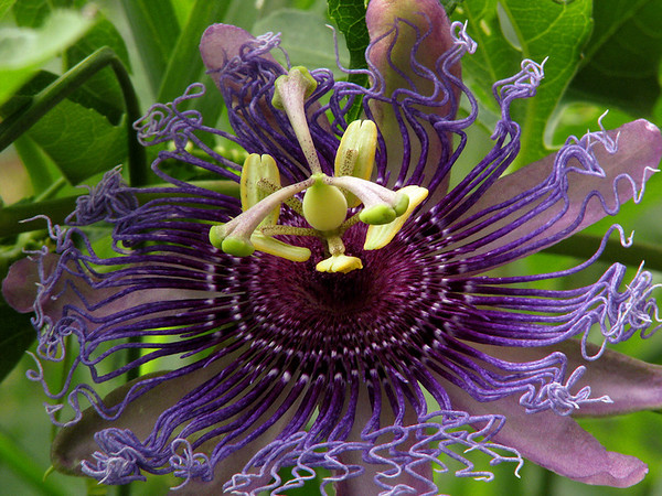 Purple passion flower (a.k.a. Maypop; Passiflora incarnata) from the family farm (20080809_10605)