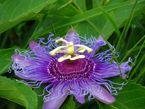 A purple passion flower (a.k.a. Maypop; Passiflora incarnata) (20080809_10680)