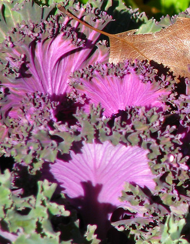 Ornamental kale (a.k.a. red winter, cottager, flowering cabbage, collard or cole; Brassica oleracea var. acephala) (IMG_20071230_00655)