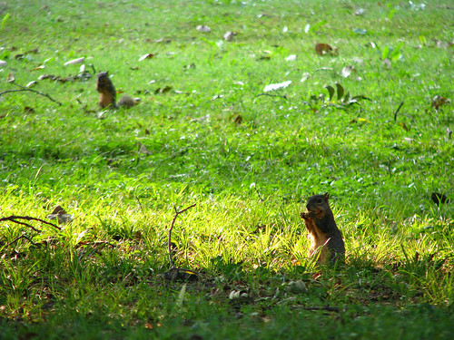 A pair of fox squirrels (Sciurus niger) enjoying a bit of breakfast (20080921_12530)