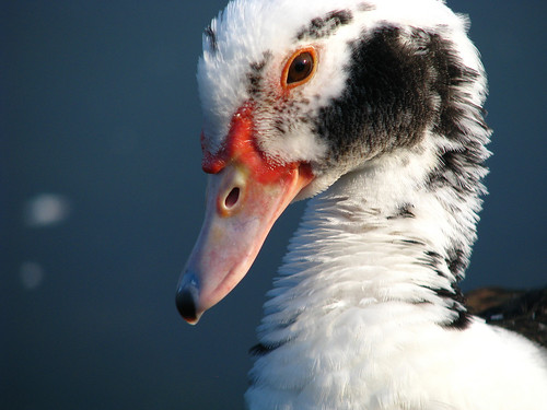 A close-up of a female muscovy duck (Cairina moschata) (20080920_12156)