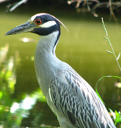 A yellow-crowned night-heron (Nyctanassa violacea) standing at a creek's edge near White Rock Lake (20080722_09861)