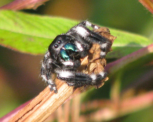 A male regal jumping spider (Phidippus regius) perched on a twig as he watches me watch him (20080920_12216)