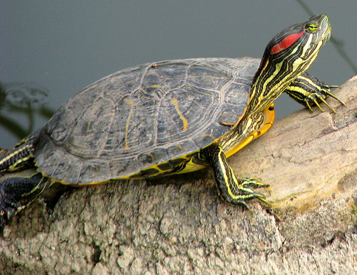 A red-eared slider (Trachemys scripta elegans) resting atop a log waiting for sunlight (20080921_12832)