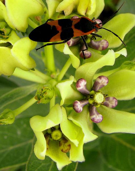 A large milkweed bug (Oncopeltus fasciatus) resting atop green antelopehorn (a.k.a. green milkweed, spider milkweed or antelope-horn milkweed; Asclepias viridis) (20080921_12670)