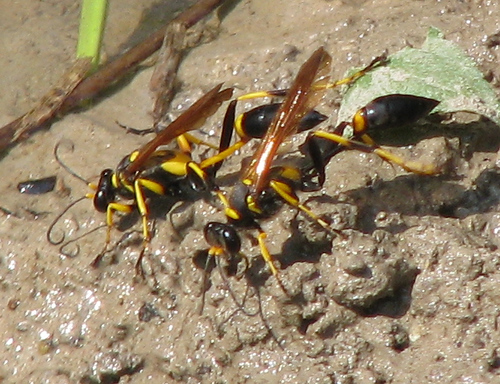 A female black and yellow mud dauber (a.k.a. mud wasp; Sceliphron caementarium) building her nest (20080921_12788)
