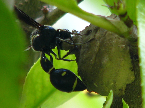 A female common potter wasp (a.k.a. dirt dauber; Eumenes fraternus) building a nest in a bush (20080821_11176)